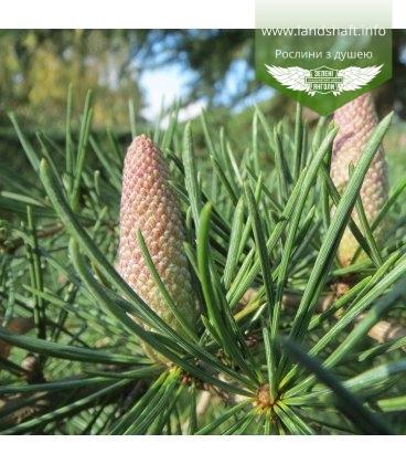 Семена Cedrus deodara, Кедр гималайский, 10+2 шт в подарок