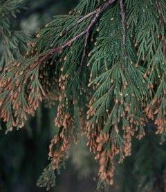 Насіння Calocedrus decurrens, Річковий каліфорнійський кедр, 10+2 шт в подарунок