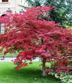 Семена Acer palmatum 'Atropurpureum', Клен пальмолистный 'Атропурпуреум', 10+2 шт в подарок