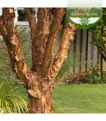 Насіння Acer griseum, Клен сірий, 10+2 шт в подарунок