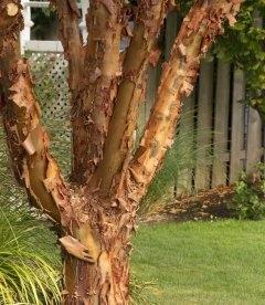 Семена Acer griseum, Клен серый, 10+2 шт в подарок