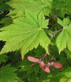 Семена Acer circinatum, Клен завитой, 10+2 шт в подарок