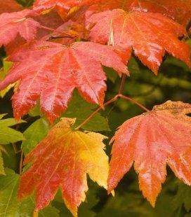 Насіння Acer circinatum, Клен завитий, 10+2 шт в подарунок