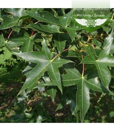 Семена Acer truncatum, Клен усеченный, 10+2 шт в подарок