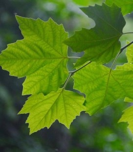 Семена Acer mono, Клен мелколистный, 10+2 шт в подарок