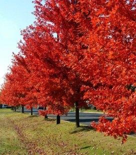 Семена Acer rubrum, Клен красный, 10+2 шт в подарок