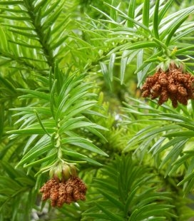 Насіння Cunninghamia lanceolata, Кунінгамія ланцетна, 10+2 шт в подарунок