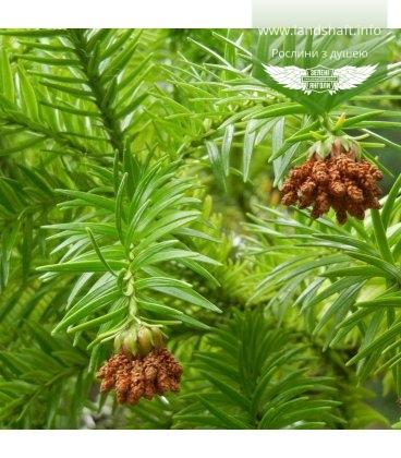Cunninghamia lanceolata, Кунінгамія ланцетна, 10+2 шт в подарунок