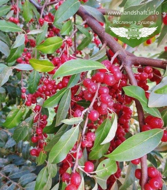 Лох зонтичный, маслинка зонтичная, акигуми - купить саженцы с доставкой по Украине