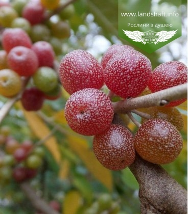 Маслинка зонтична, лох зонтичний, акігумі - ягоди