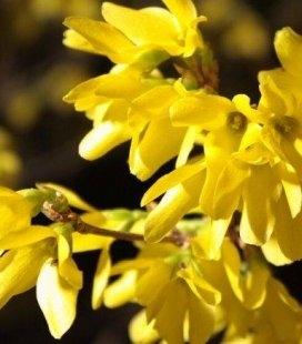 Forsythia x intermedia 'Maluch', Форзиция средняя 'Малыш'