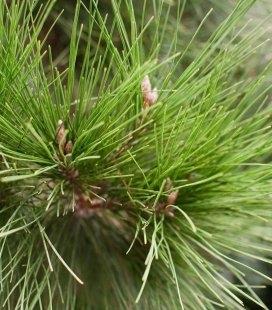 Насіння Pinus halepensis, Сосна алепська, 10+2 шт в подарунок