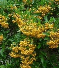 Пираканта ярко-красная Солейл д'Ор - купить в питомнике растений оптом и в розницу