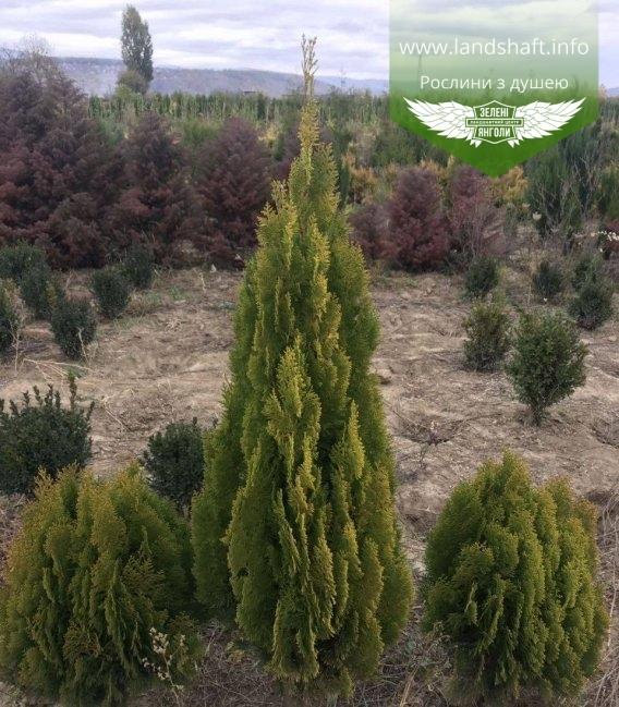 Туя східна 'Пірамідаліс Карчу'- купити в розсаднику рослин з доставкою по Україні