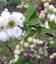 Семена Exochorda racemosa, Экзохорда кистистая, 10+2 шт в подарок