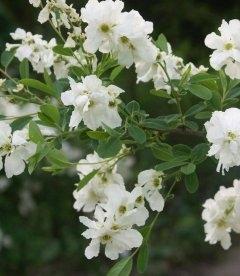 Насіння Exochorda racemosa, Екзохорда китицевидна, 10+2 шт в подарунок