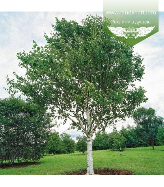 Betula utilis var. jacquemontii, Береза корисна Жакмана