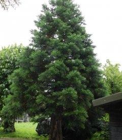 Насіння Sequoiadendron giganteum, Секвойядендрон велетенський, 10+2 шт в подарунок