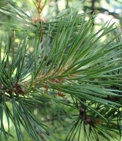 Семена Sequoiadendron giganteum, Секвойядендрон гигантский, 10+2 шт в подарок