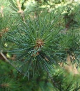 Насіння Pinus sylvestris mongolica, Сосна обыкновенная монгольская, 10+2 шт в подарунок