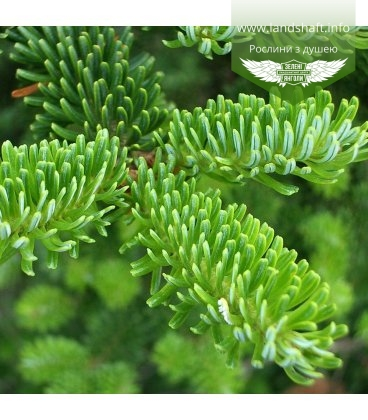 Семена Abies fraseri, Пихта Фразера, 10+2 шт в подарок
