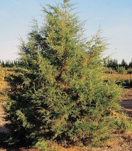 Насіння Juniperus virginiana var. scopulorum, Ялівець скельний, 10+2 шт в подарунок