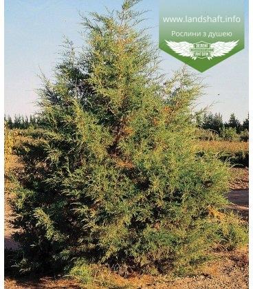 Семена Juniperus virginiana var. scopulorum, Можжевельник скальный, 10+2 шт в подарок