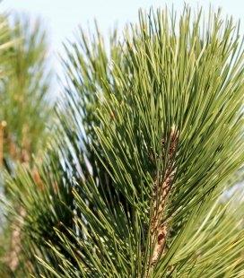 Насіння Pinus leucodermis, Сосна білокора, 10+2 шт в подарунок