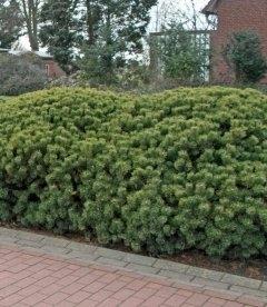 Насіння Pinus mugo montana, Сосна гірська Монтана, 10+2 шт в подарунок
