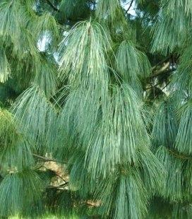 Насіння Pinus griffithii, Сосна гімалайська, 10+2 шт в подарунок