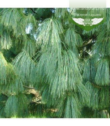Семена Pinus griffithii, Сосна гималайская, 10+2 шт в подарок