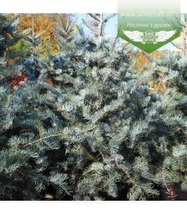Насіння Abies concolor 'Glauca', Ялиця одноколірна 'Глаука', 10+2 шт в подарунок