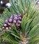 Насіння Pinus mugo uncinata, Сосна горная крючковатая, 10+2 шт в подарунок
