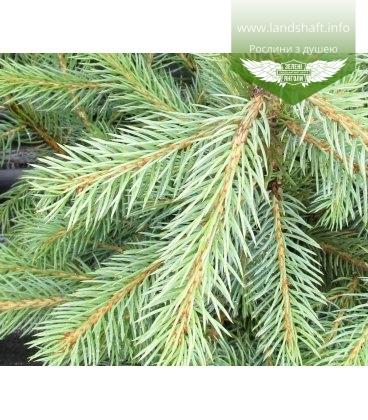 Насіння Picea pungens 'Glauca Arizonica/Kaibab', Ялина блакитна 'Глаука Арізоніка/Кейбаб', 10+2 шт в подарунок