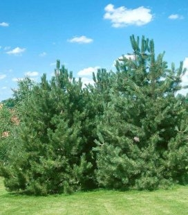 Насіння Pinus nigra var. austriaca, Сосна чорна 'Аустріяка', 10+2 шт в подарунок