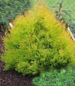 Thuja occidentalis 'Rheingold' яскрава хвоя