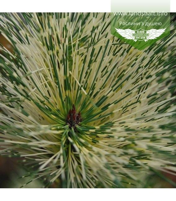 Pinus densiflora 'Oculus Draconis', Сосна густоцветковая 'Окулус Драконис'