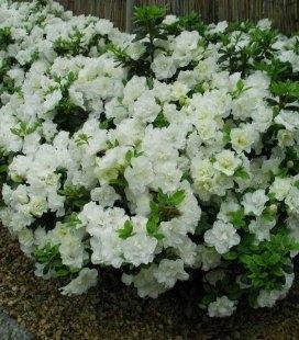 Azalea japonica 'Schneeperle', Азалия японская 'Шнееперле'