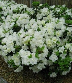 Azalea japonica 'Schneeperle' Азалия японская