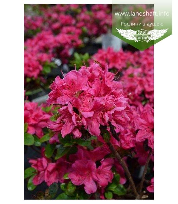 Azalea japonica 'Rubinetta', Азалія японська 'Рубінетта'