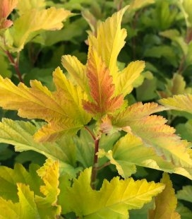 Physocarpus opulifolius 'Angel Gold/Minange', Пузыреплодник калинолистный 'Эйнджел Голд/Минанж'