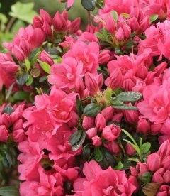 Azalea japonica 'Drapa Pink', Азалия японская 'Драпа Пинк'