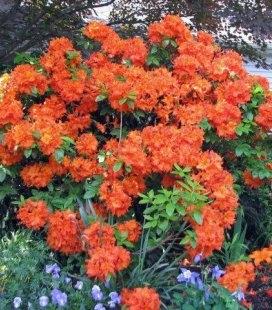 Azalea japonica 'Drapa Orange', Азалія японська 'Драпа Оранж'