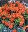 Azalea japonica 'Drapa Orange', Азалия японская 'Драпа Оранж'