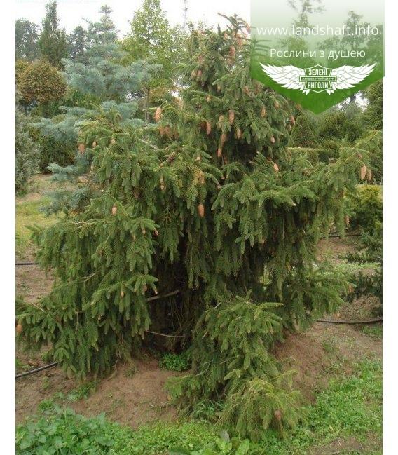 Picea abies 'Acrocona', Ялина звичайна 'Акрокона'