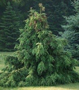 Picea abies 'Acrocona', Ель обыкновенная 'Акрокона'