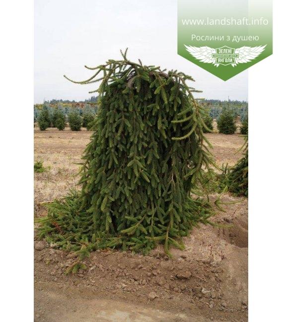 Picea abies 'Frohburg', Ялина звичайна 'Фробург'
