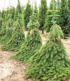 Picea abies 'Frohburg', Ель обыкновенная 'Фробург'