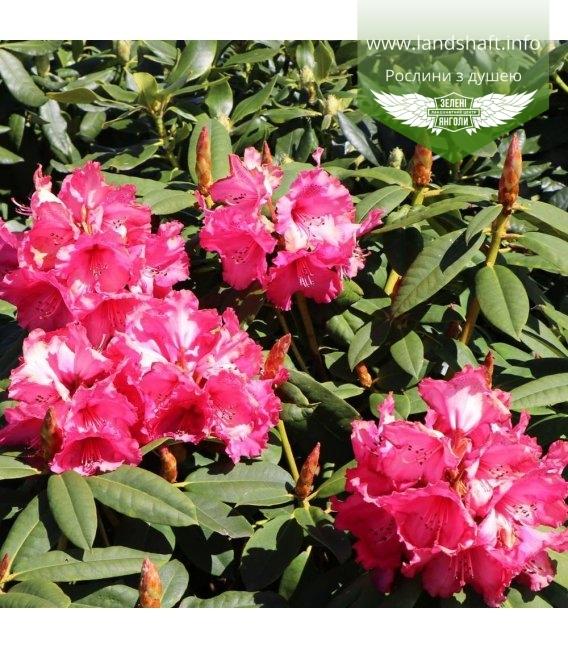 Rhododendron hybrida 'Andantino', Рододендрон гібридний 'Андантіно'