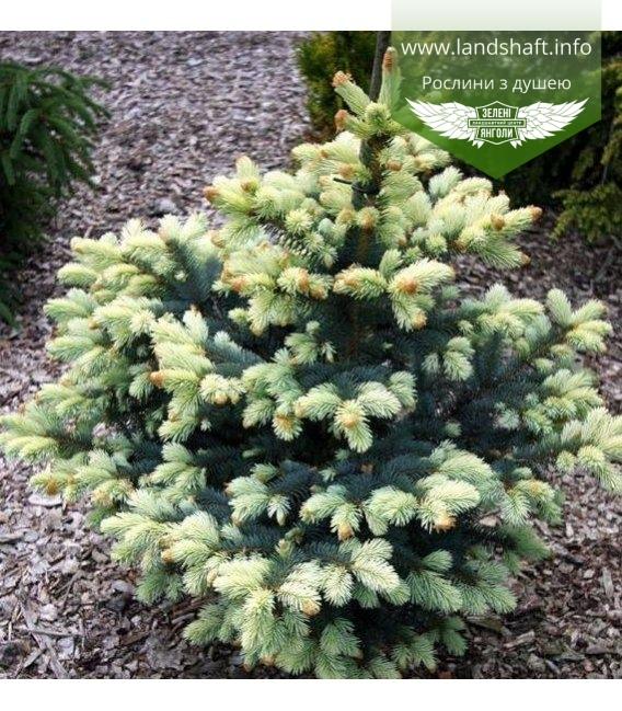 Picea pungens 'Bialobok', Ель голубая 'Белобок'